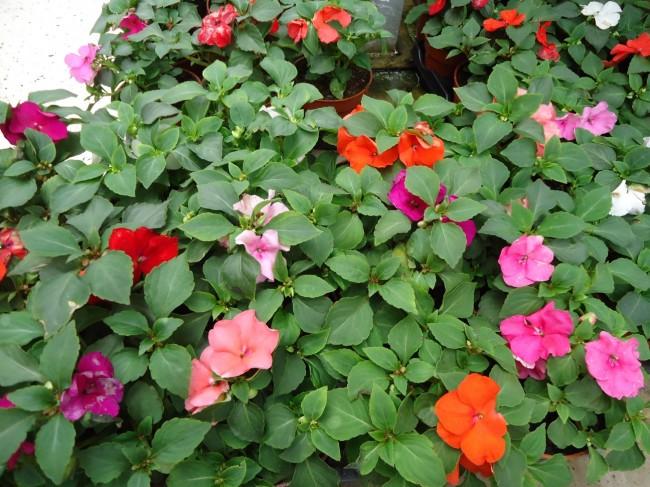 Planta de la alegria elegant planta alegria de la casa amazing with alegria de la casa planta - Alegria planta cuidados ...